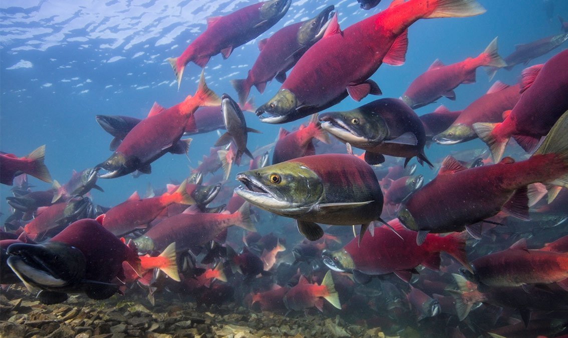 Salmon, People, and Place | edX